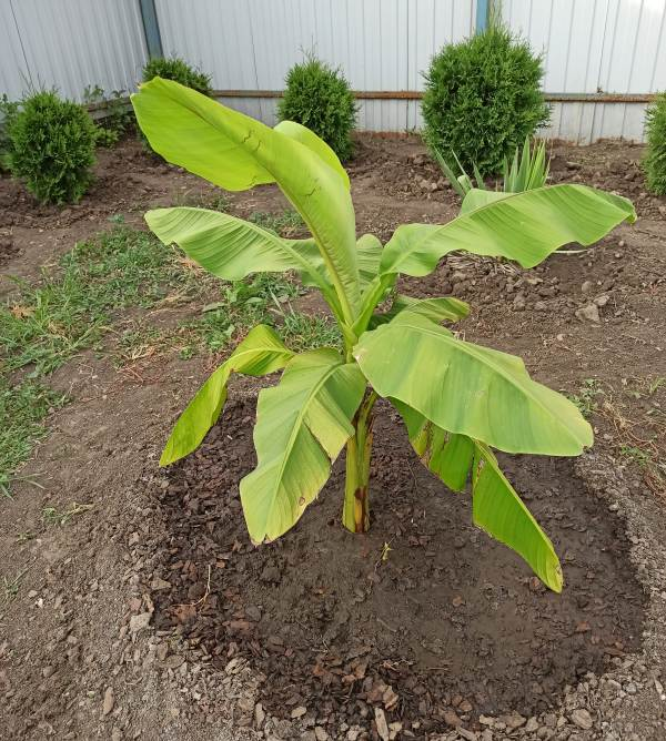 Японский банан в открытом грунте